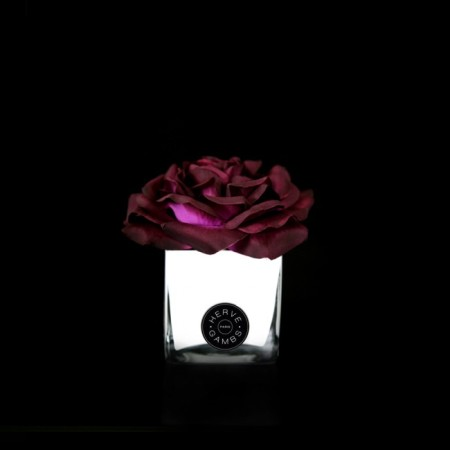 Herve Gambs - Plum Couture Rose in White Glass Cube